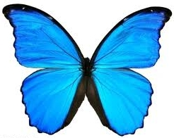 images/stories/bluemorpho1.jpg