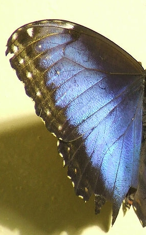 images/stories/bluemorphowingdetail.jpg